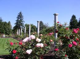SeaTac Garden roses