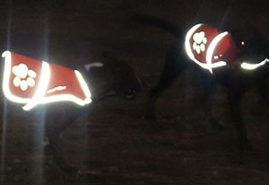 SafetyPUP-XD-Blaze-Orange-Reflective-Dog-Vest-night-vision